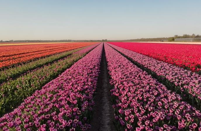 experience-tulip-field-amsterdam